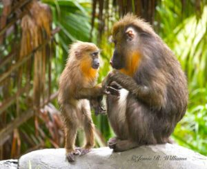 Mandrill - SEEKING MOM