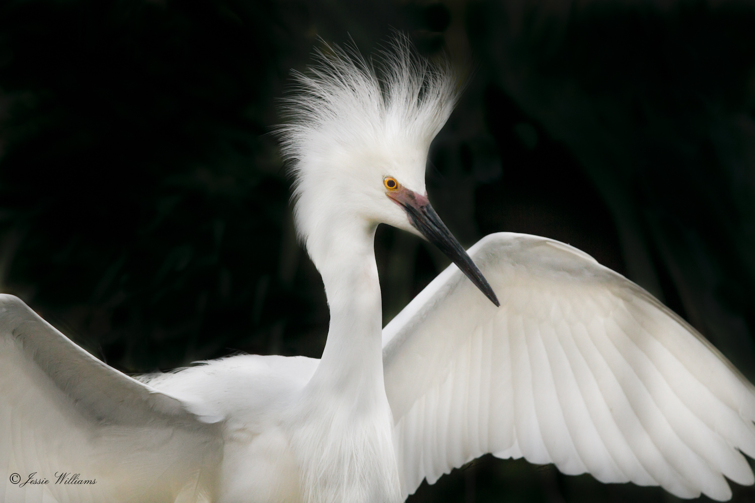 Showy Snowy Egret | Jessie Williams Photography