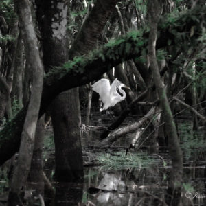 THE GHOSTS OF MYAKKA FOREST